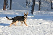 Der hund spielt in winter park — Stockfoto
