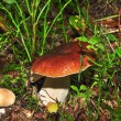 Stock Photo: Boletus in forest grass