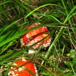Red amanita — Stock Photo