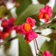 Spindle Berries — Stock Photo