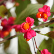 Stock Photo: Spindle Berries