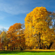 Stock Photo: Yellow leaves on big trees