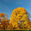 Stock Photo: Big trees it is covered with yellow leaves