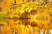 Yellow leaves on trees — Stock Photo