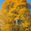 Stock Photo: Big tree it is covered with yellow leaves