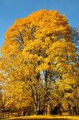 Großer Baum mit gelben Blättern abgehakt — Stockfoto