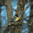 Stock Photo: Titmouse on tree branch
