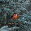 Stock Photo: Bullfinch on fir tree branch