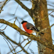 Stock Photo: Bullfinch on tree branch