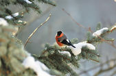 Bullfinch on a fir tree branch — Stock Photo