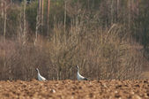 Cranes in the field — Stock Photo