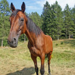 Cute Brown horse taken with wide angle - Stock Photo