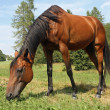 Beautiful glossy brown horse grazing the grass - Stock Photo