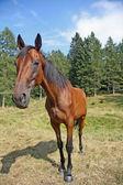 Hezký hnědý kůň s širokým úhlem — Stock fotografie