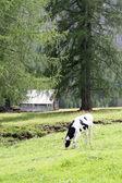 Krowy pasące się pod drzewami — Zdjęcie stockowe