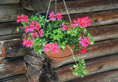 Potted Geraniums hanging — Stock Photo