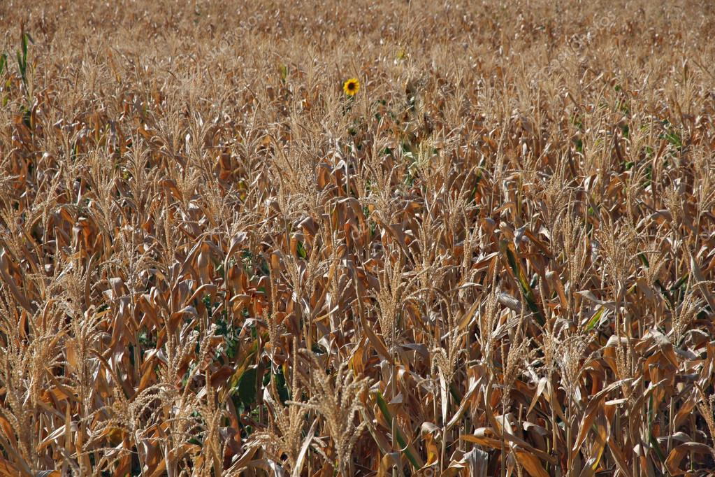 Amazing yellow sunflower isolated amid the dry corn field in summer — Stock Photo #12566872