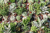 Collection of Succulents for sale at the greenhouse — Stock Photo