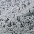 Постер, плакат: Firs and pines covered with white snow in the mountains