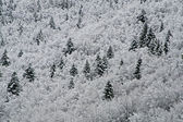 Firs and pines covered with white snow in the mountains in winte — Stock Photo