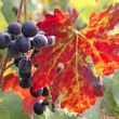 Black grape cluster behind a vine leaf — Stock Photo