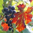 Stock Photo: Fleshy black grape cluster and flaming red vine leaf