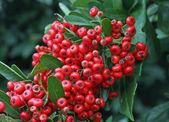 Bagas vermelhas em um arbusto verde no inverno — Fotografia Stock