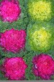 Renkli lahana bakkal dükkanı dekorasyonu ile satış — Stok fotoğraf