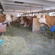 Stock Photo: White and brown cows in a barn