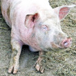 Pink snout of pig in sty in mud — Stock Photo #21570095