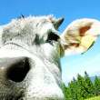 Nose of the cow mountain — Stock Photo