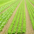 Stock Photo: Vertical rows of lettuce and fresh in field of intensive culti