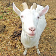 Goat with horns in the fold - Stock Photo
