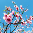 Flower of cherry tree in spring — Stock Photo