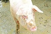 Fat pink pig in a sty full of mud — Stock Photo