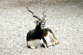 Antelope lying down resting on a stone fence — Stock Photo