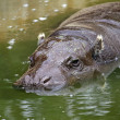 Stock Photo: Fat massive Hippo in pond of zoo