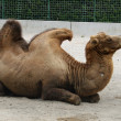 Dromedary in zoo enclosure — Stock Photo #22008455