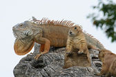 Mighty iguana and two Marmot get hot in the Sun on a branch — Stock Photo