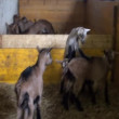 Goats and lambs playing in an enclosure — Stock Video