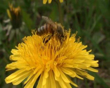 Abeille d'ouvrier voler de fleur en fleur au printemps — Vidéo