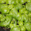 Green basil leaves on a plant in a pot in the kitchen — ストック写真