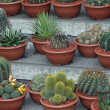 Zdjęcie stockowe: Series of potted cactus for sale at market of florists