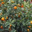 Citrus plants growing oranges and lemons in Sicily — Stock Photo