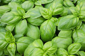 Green basil leaves ready to taste the tasty kitchen recipes — Stock Photo