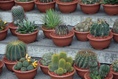 Series of potted cactus for sale at the market of florists — Stock Photo