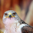 Close-up of a hawk with big eyes that stare at you - Stock Photo