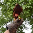Glove of a brave Falconer  that trains a mighty fly Falcon comma — Stock Photo