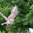 Stock Photo: Grazing flight of wild Falcon Raptor in nature