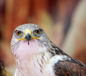 Close-up of a hawk with big eyes that stare at you — Stock Photo